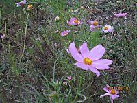Flower_cosmos